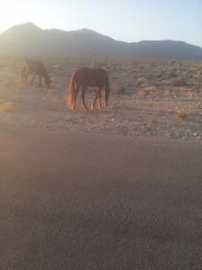 Zwei der wilden Pferde in Las Vegas.